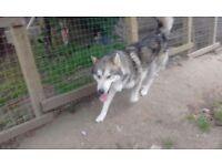 husky type dog