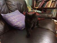 12 week old black male kitten for sale £40