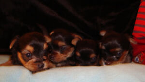 yorkshire chiots