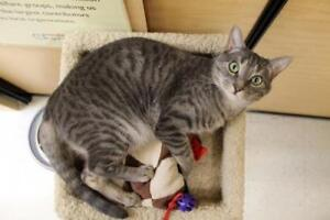 "Adult Male Cat - Domestic Short Hair-Tabby: ""Phineas"""