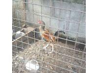 Cockerel chicken