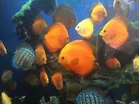 tropical discus fish , good aquarium community fish for sale