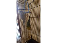 Two budggies and cage for sale
