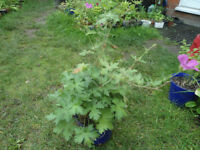 Plants for sale-Hardy Geranium plants in 16 cm pot