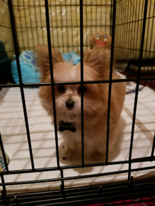 Porkie Puppy For SALE+EVERYTHING INCLUDED