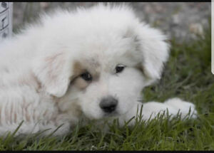 Looking for a Great Pyrenees Pup