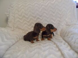 miniature dachshund puppies kc reg