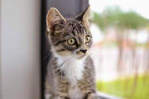 """Baby Male Cat - Domestic Short Hair-Tabby (Brown): """"Orion"""""""