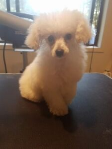 TOY POODLE FEMALE PUPPY