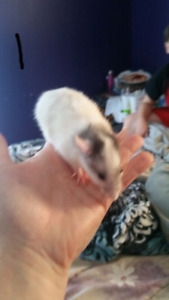 female young rats