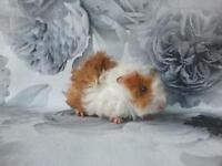 Male guinea pigs - ONLY TWO WHITE LEFT