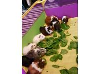 guinea pig babies males and females