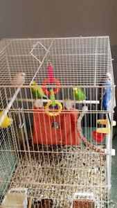 5 budgies 3 male 2 female healthy vibrant colours
