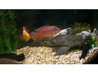 Large spotted pleco catfish