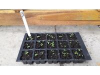 Large tray of Viola (Prince Henry) perennial seedlings