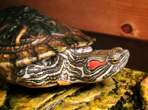 *Reduced* Turtle: Red-eared Slider with Tank and Accessories