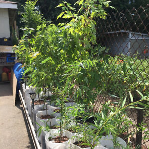 Small trees seedlings maples willows Chinese elm, plants