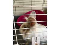 2 Lion Head Rabbits with 2 cages
