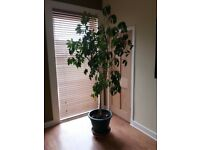 Large Umbrella plant with pot and wheels. Moving to a smaller house so the plant is now too big