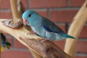 BLUE MALE PARROTLET BABY