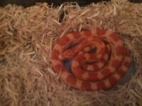 Corn snake and full set up