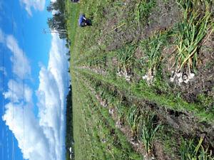 Ail biologique de Flor'Ail/ Flor'Ail Organic Garlic