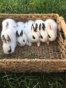 Norwegian Rabbits