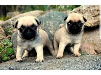 Beautiful pug puppies (carry white gene)