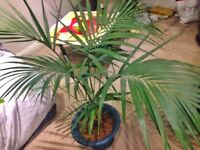 Exotic Kentia indoor palm height 1.5m(4,9ft) diameter 1,5m(4,9ft)