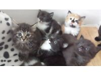 long haired female kittens ready now
