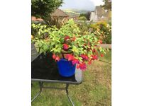 HANGING BASKETS WITH FUSCHIA PLANTS