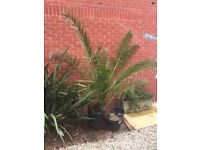 Palm tree 7ft