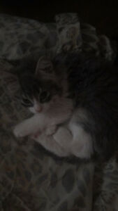 Make grey and white fluffy kitty for sale