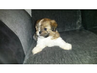 shih tzu female for good home due to time waster.