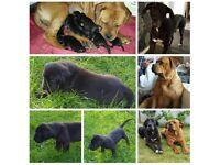Great Dane / Bordeaux Mastiff Puppies