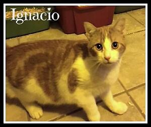 "Baby Male Cat - Domestic Short Hair (Orange & White): ""Ignacio"""