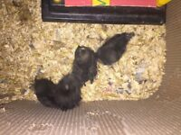 Pure Breed Polish Chicken 1 week old