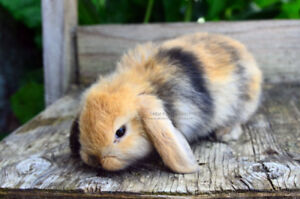 Harlequin Holland Lop Doe!