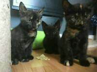 Black kittens for sale 8 weeks old
