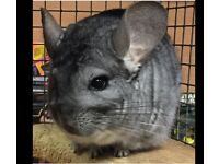 Female Chinchilla looking for a forever home