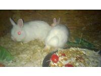 dwarf lop netherland dwarf lionhead rabbits