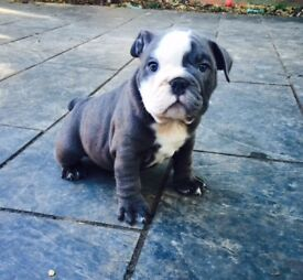 2 left - blue boy & girl English bulldog puppies puppy dogs 8 weeks old ready for new homes