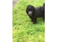 KC registered pedigree standard poodle puppies