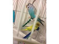 Two male budgies plus cage