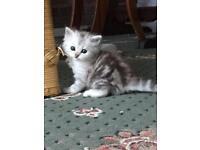 Silver British longhair kittens