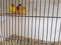 Dimorphic & Fife Canaries for sale