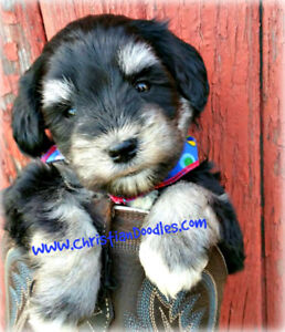Miniature Schnauzers & Schnoodles Imported Lines. REPUTABLE