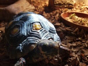 Red foot tortoise.  3 years old