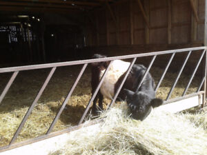 Belted Galloway bull for sale