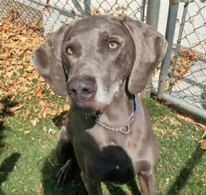 "Adult Male Dog - Weimaraner: ""Brock-Lee"""
